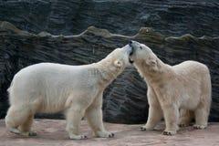 Jugar osos polares Fotos de archivo libres de regalías