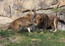 Jugar pares del león Foto de archivo libre de regalías