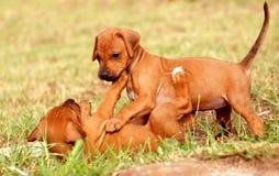 Jugar perritos imagen de archivo