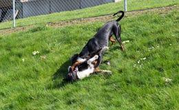 Jugar perros Imagenes de archivo