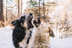 Jugar perros Fotos de archivo libres de regalías