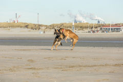 Jugar perros Imágenes de archivo libres de regalías