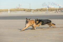 Jugar perros Fotografía de archivo libre de regalías