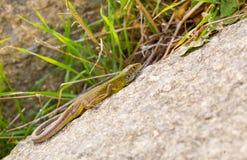 Jugendliche östliche grüne aalende Eidechse Stockfotos