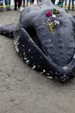 Jugendliche Buckelwalwäschen an Land und gestorben lizenzfreies stockbild