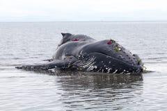 Jugendliche Buckelwalwäschen an Land und gestorben lizenzfreie stockfotos