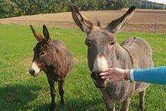 Jugendliche, die einen Esel an ihren Fingern schnüffeln lässt Stockfotos