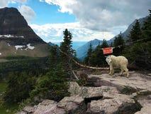 Jugendliche Gebirgsziege am Glacier Nationalpark, Montana Lizenzfreies Stockbild