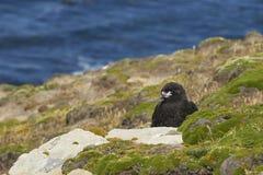 Jugendliche gestreifte Falken auf der Küste von Karkassen-Insel Stockbild