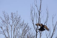 Jugendliche goldene Eagle Wings-Verbreitung Stockbilder