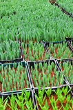 Jugendliche grüne Knospe der Tulpe Stockbilder
