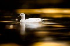 Jugendliche hybride Ente bei Sonnenuntergang Lizenzfreies Stockbild