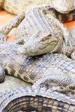 Jugendliche Krokodile im Ruhezustand Stockfotografie