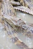Jugendliche Krokodile im Ruhezustand Lizenzfreies Stockbild