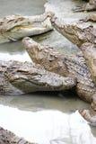 Jugendliche Krokodile im Ruhezustand Lizenzfreie Stockbilder