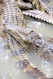 Jugendliche Krokodile im Ruhezustand Lizenzfreies Stockfoto