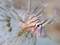 Jugendliche Löwe-Fische Unterwasser Lizenzfreie Stockbilder