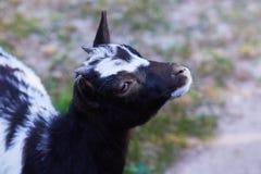 Jugendliche Schwarzweiss-Ziege Capra aegagrus hircus Profilansicht stockfoto
