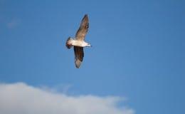 Jugendliche Seemöwe, die volles Wing Span fliegt Stockfotografie