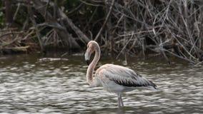 Jugendlicher amerikanischer Flamingo oder karibischer Flamingo, wissenschaftlicher Name: Phoenicopterus-ruber kuba stock video footage