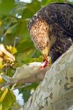 Jugendlicher amerikanischer kahler Adler Stockfoto