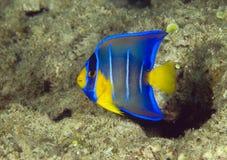 Jugendlicher blauer Angelfish Lizenzfreie Stockfotografie