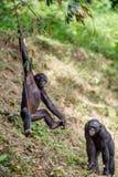 Jugendlicher Bonobo auf der Niederlassung des Baums Stockfotografie