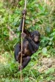 Jugendlicher Bonobo auf der Niederlassung des Baums Stockbilder