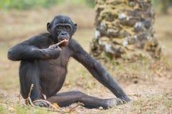 Jugendlicher Bonobo sitzt aus den Grund Der Bonobo (Pan-paniscus), genannt den Pygmäenschimpansen Stockfotos