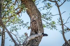 Jugendlicher Brown-Schlangenadler, der auf einer Niederlassung sitzt Stockbild