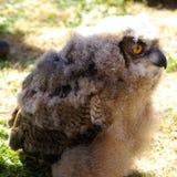 Jugendlicher Eagle Owl im Profil Lizenzfreie Stockbilder