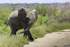 Jugendlicher Elefant Lizenzfreie Stockfotos