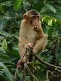 Jugendlicher essender Macaquefallhammer, Borneo, Asien Stockfoto