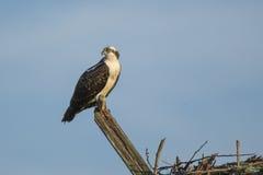 Jugendlicher Fischadler, der über Schulter schaut Stockfotografie