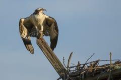 Jugendlicher Fischadler, der für Start beim Schreien sich vorbereitet Stockbilder