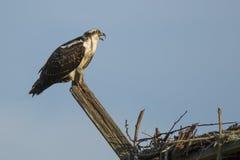 Jugendlicher Fischadler, der von der hölzernen Stange in Verbindung steht Stockfoto
