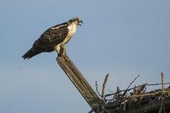 Jugendlicher Fischadler, der von der Stange nennt Stockbild