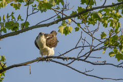 Jugendlicher Fischadler, der wie Huhn im Baum aussieht Stockfotos