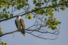 Jugendlicher Fischadler-Drehenkopf Stockbilder