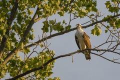 Jugendlicher Fischadler im Baum, der Hals ausdehnt Lizenzfreie Stockbilder
