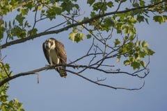 Jugendlicher Fischadler im Baum, der unten schaut Stockbild