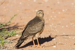 Jugendlicher Gabar-Hühnerhabicht, der auf trockenem Sand steht Stockfotografie