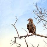 Jugendlicher Gaukler gehockt auf einem toten Baum Lizenzfreies Stockbild