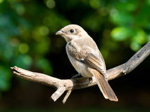 Jugendlicher geläufiger steuerlicher shrike gewordener Vogel Stockfotografie