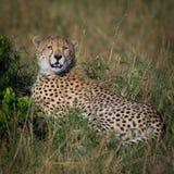 Jugendlicher Gepard Stockfoto