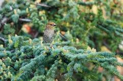 Jugendlicher Hawfinch auf einem Zedernbaum Lizenzfreies Stockfoto