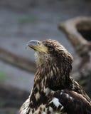 Jugendlicher kahler Adler Stockbild