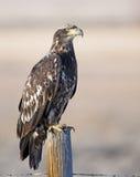 Jugendlicher kahler Adler auf altem Pfosten Stockfotografie