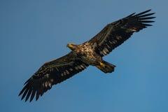 Jugendlicher kahler Adler im Flug Lizenzfreies Stockfoto
