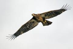 Jugendlicher kahler Adler im Flug Lizenzfreie Stockfotos